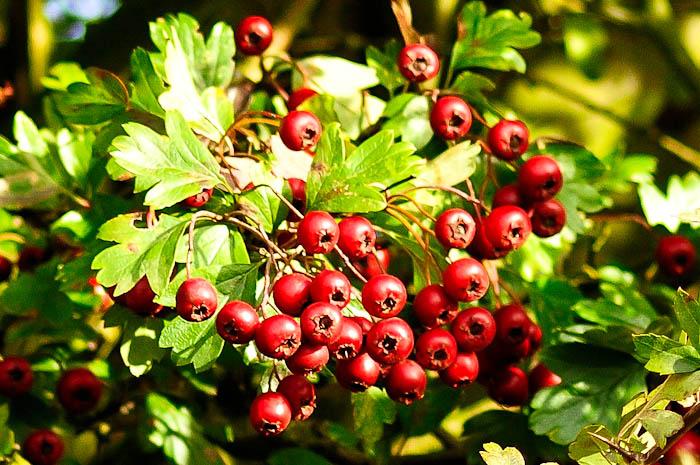 Плоды боярышника для лечения сердечной одышки народными средствами