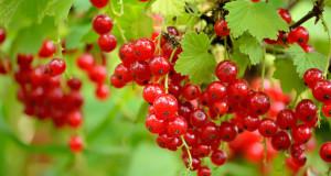 Красная смородина: польза и вред