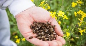 Пчелиный подмор: польза и вред