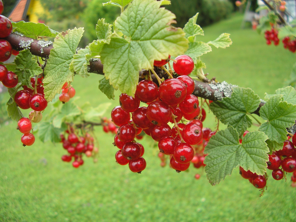 Состав и полезные свойства красной смородины