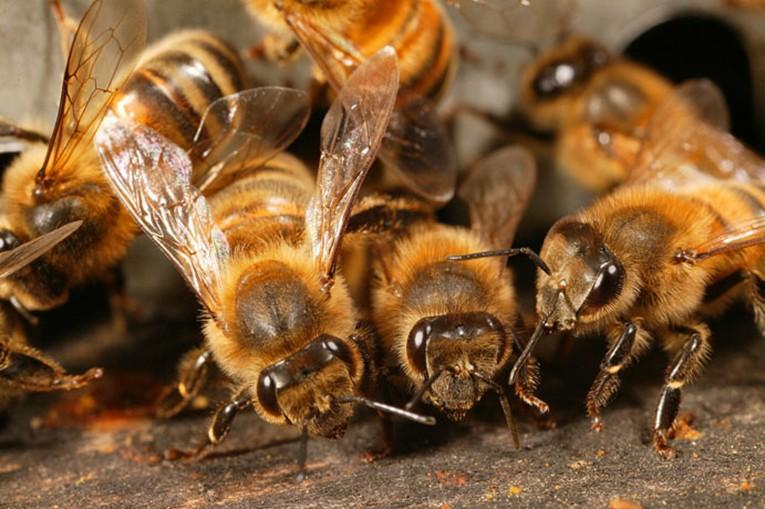 Целебное действие пчелиного подмора