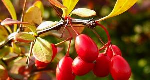 Ягоды барбариса: польза и вред