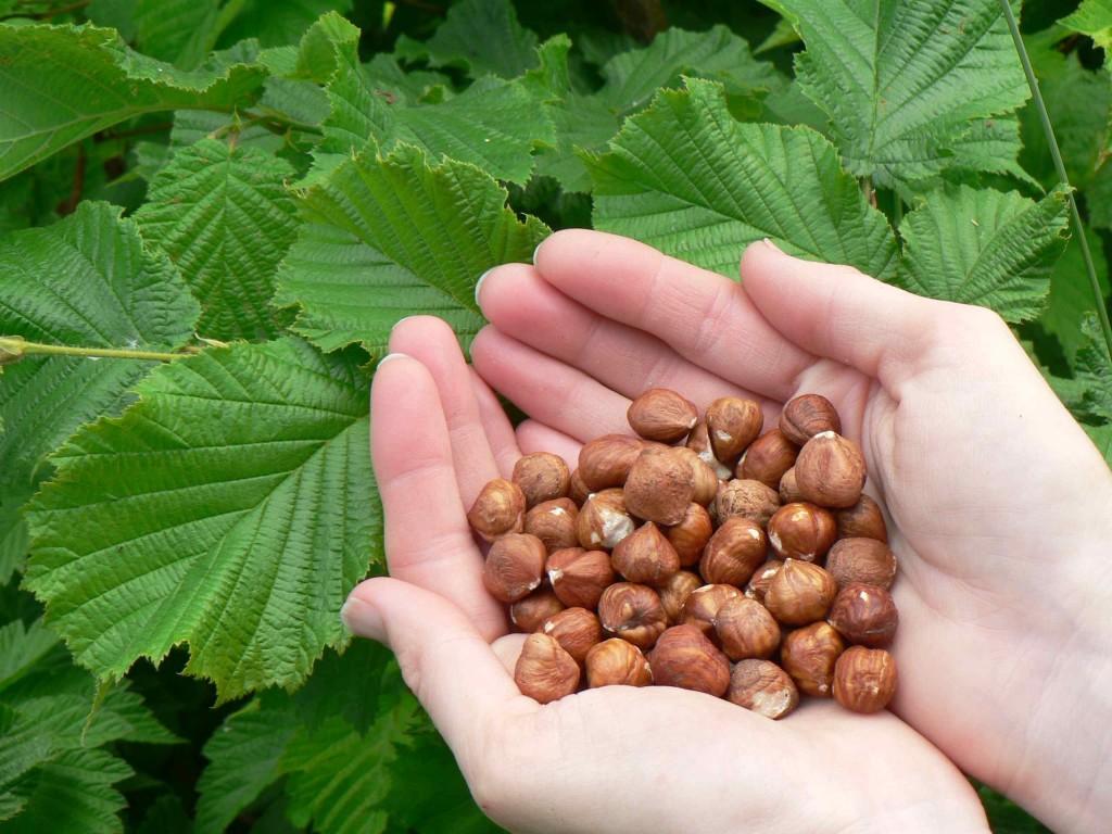 Пищевая ценность лесного ореха
