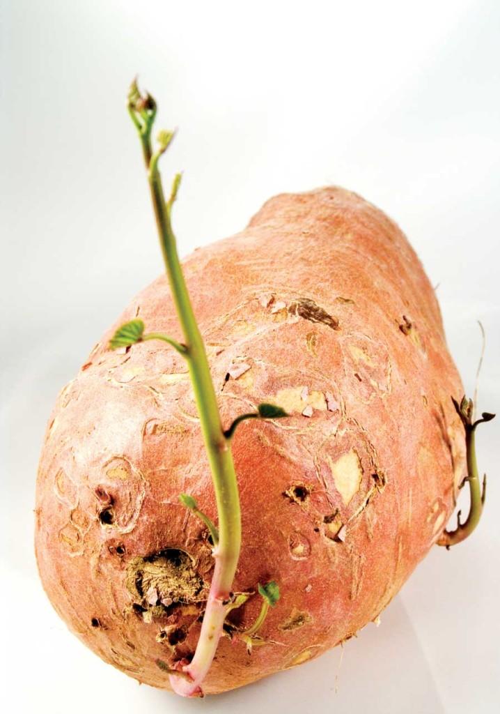 Приготовление соланиновой настойки из ростков картофеля