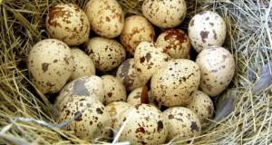 Перепелиные яйца: польза и вред для мужчин